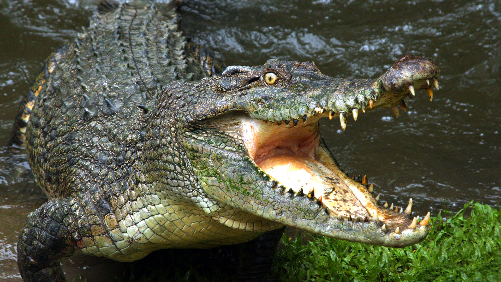 A mouth open crocodile